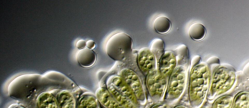 algae-oil-960x416