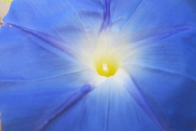 A morning-glory at my window satisfies me more than the metaphysics of books. Photographed by Evangeline Rand.